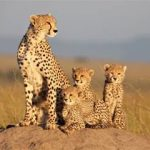 """""""African Cats"""" (Disneynature's Earth Day Production)"""