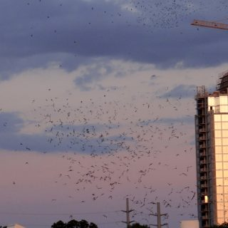 The Flight of the Congress Avenue Bridge Bats…A Must Watch in Austin, Texas.