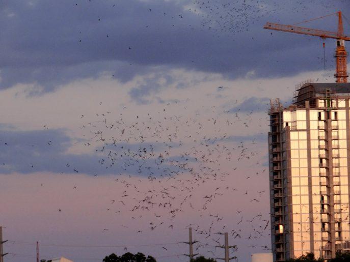 The Flight of the Congress Avenue Bridge Bats  (5)