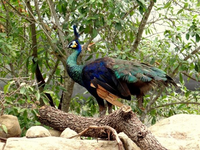 Gorgeous Green Peafowls from Southeast Asia walk around freely.