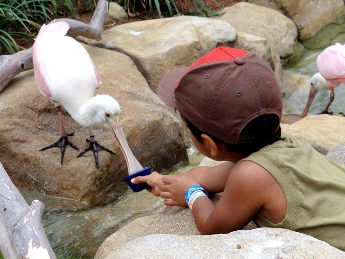 Feeding the Roseate Spoonbill. These birds can be found in North, Central and South America.