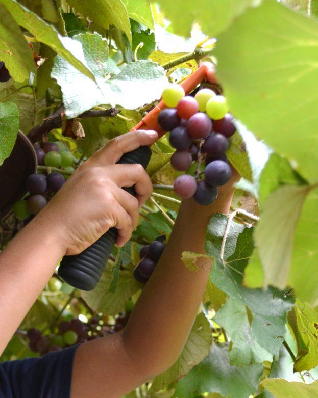 Grape_stomping_Windy_Winery_Brenham_Texas_#VisitBrenham_Travel (23)