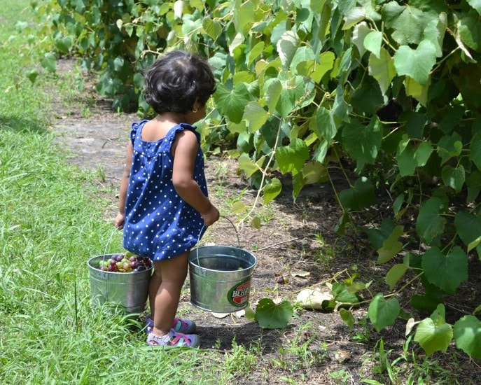 Grape_stomping_Windy_Winery_Brenham_Texas_