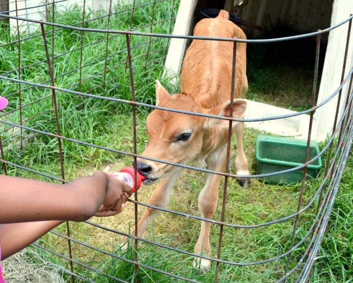 Milk a cow, bottle feed a calf and more at Jersey Barnyard {#VisitBrenham} Photo-Mommy Snippets copyright (65)
