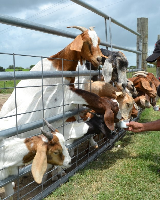 Milk a cow, bottle feed a calf and more at Jersey Barnyard {#VisitBrenham} Photo-Mommy Snippets copyright (87)