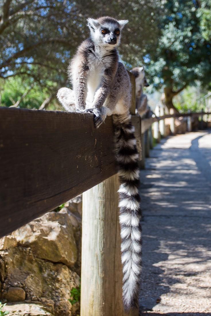 Lemur at Jerusalem Biblical Zoo