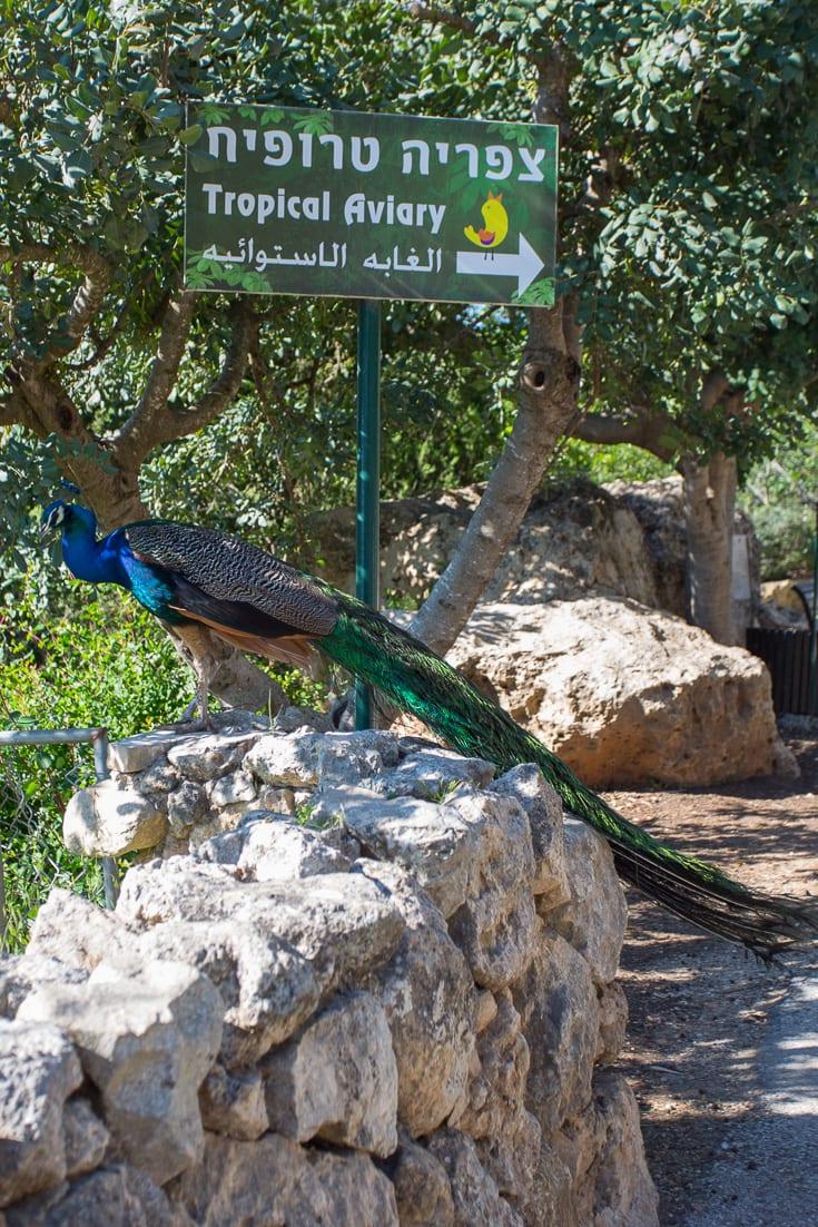 Peacock at Jerusalem Biblical Zoo