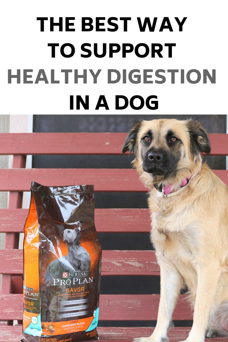 The Best Way to Support Healthy Digestion in a Dog- MommySnippets.com #ProPlanProbiotic #CollectiveBias #ad #Probiotics